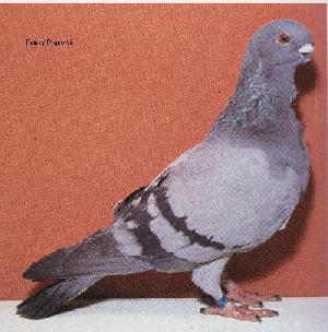 The Pigeon Cote Presents The Damascene Pigeon Breed